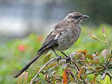 Long-tailed mockingbird httpsuploadwikimediaorgwikipediacommonsthu