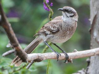 Long-tailed mockingbird Mimus longicaudatus Longtailed Mockingbird Discover Life