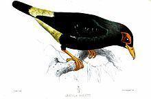 Long-tailed myna httpsuploadwikimediaorgwikipediacommonsthu