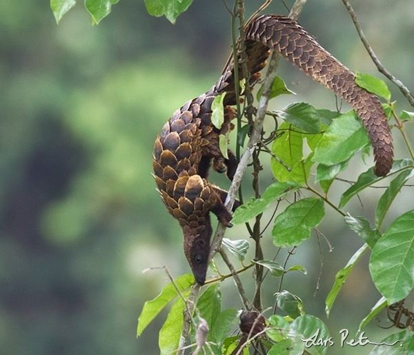Long-tailed pangolin Longtailed Pangolin Ghana Bird images from foreign trips My