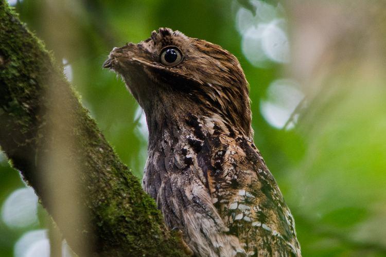 Long-tailed potoo Igor finds Longtailed Potoo Reserva Ecolgica de Guapiau