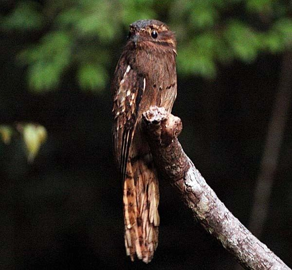 Long-tailed potoo Longtailed Potoo