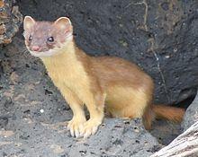 Long-tailed weasel httpsuploadwikimediaorgwikipediacommonsthu