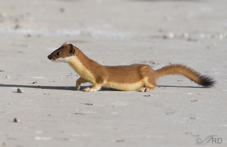 Long-tailed weasel Longtailed Weasel Efficient Hunter and Cannibal Feathered