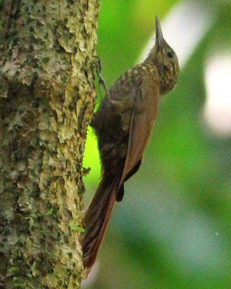 Long-tailed woodcreeper BirdsEye Photography Review Photos