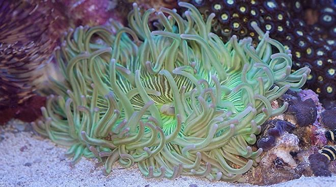 Long-tentacled anemone Buy Long Tentacle Anemone Sea Anemones for Sale Vivid Aquariums
