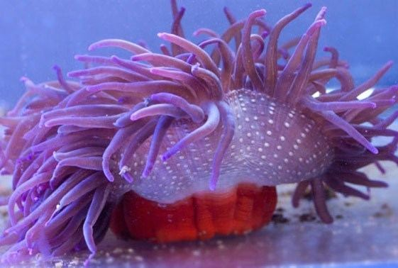 Long-tentacled anemone Long Tentacle Anemone Fishy Bizness