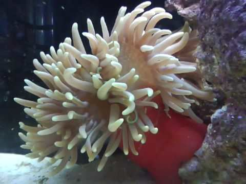 Long-tentacled anemone Green Long tentacle anemone YouTube