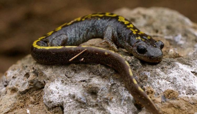 Long-toed salamander Longtoed Salamander Burke Museum