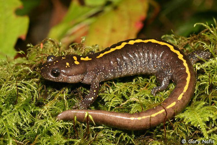 Long-toed salamander Eastern Longtoed Salamander Ambystoma macrodactylum columbianum