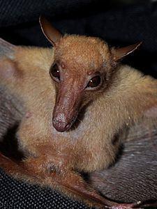 Long-tongued fruit bat httpsuploadwikimediaorgwikipediacommonsthu