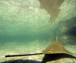 Longcomb sawfish Longcomb sawfish Wikipedia