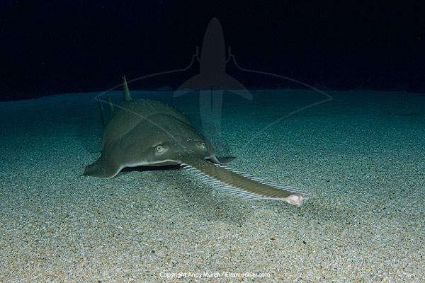 Longcomb sawfish Green Sawfish Pictures
