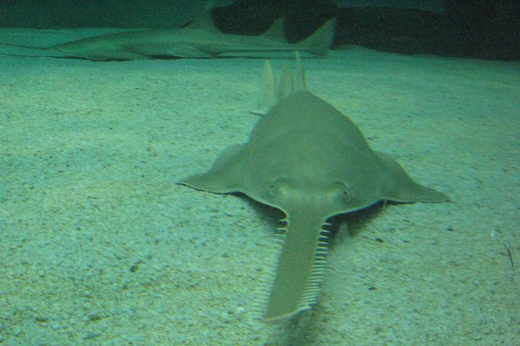 Longcomb sawfish Pristis zijsron