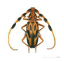 Longhorn beetle httpsuploadwikimediaorgwikipediacommonsthu