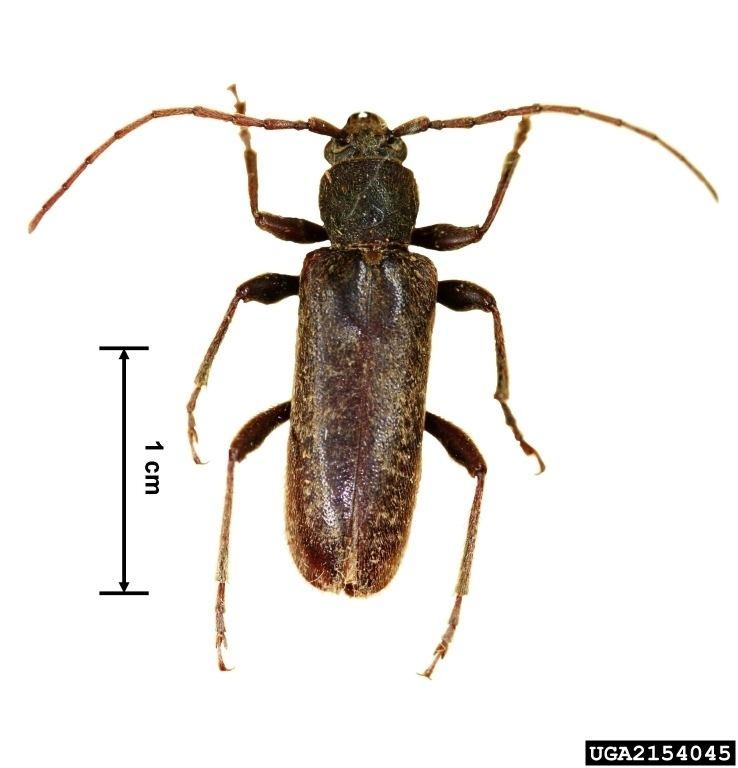 Longhorn beetle Velvet longhorned beetle Trichoferus campestris Pest Tracker