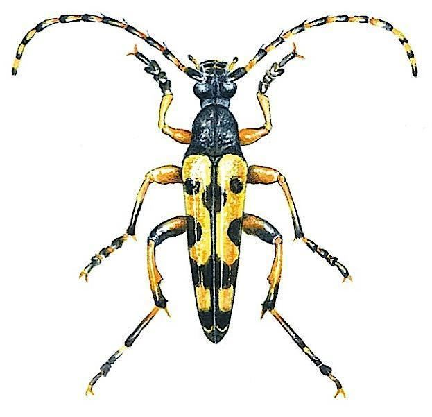 Longhorn beetle How to identify longhorn beetles Discover Wildlife