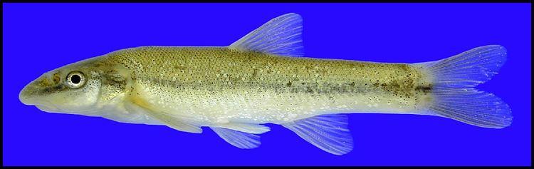 Longnose dace longnose dace Rhinichthys cataractae