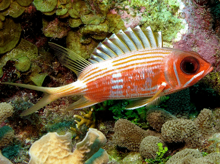 Longspine squirrelfish Longspine Squirrelfish l Beryciforme Our Breathing Planet