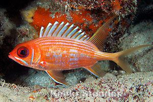 Longspine squirrelfish Longspine Squirrelfish Holocentrus rufus