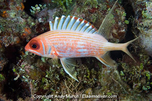 Longspine squirrelfish Longspine Squirrelfish Pictures images of Holocentrus rufus