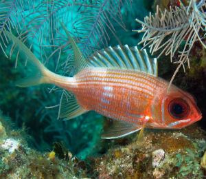 Longspine squirrelfish Key West Longspine Squirrelfish Key West Snorkeling