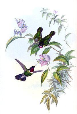 Longuemare's sunangel httpsuploadwikimediaorgwikipediacommonsthu