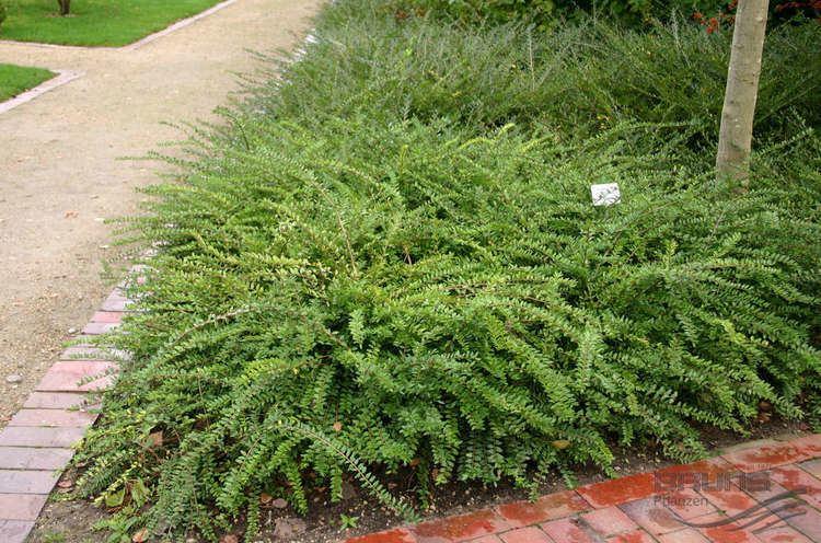 Lonicera pileata LONICERA pileata OLIV Pflanzen null Bruns Site