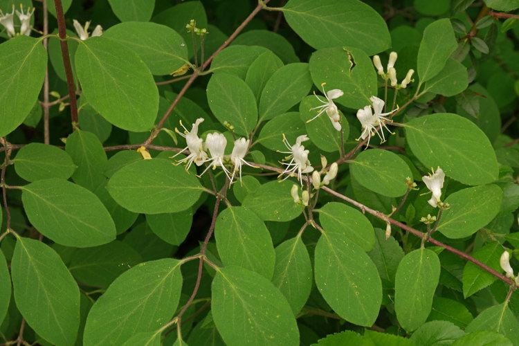 Lonicera xylosteum Loniceraxylosteum3jpg