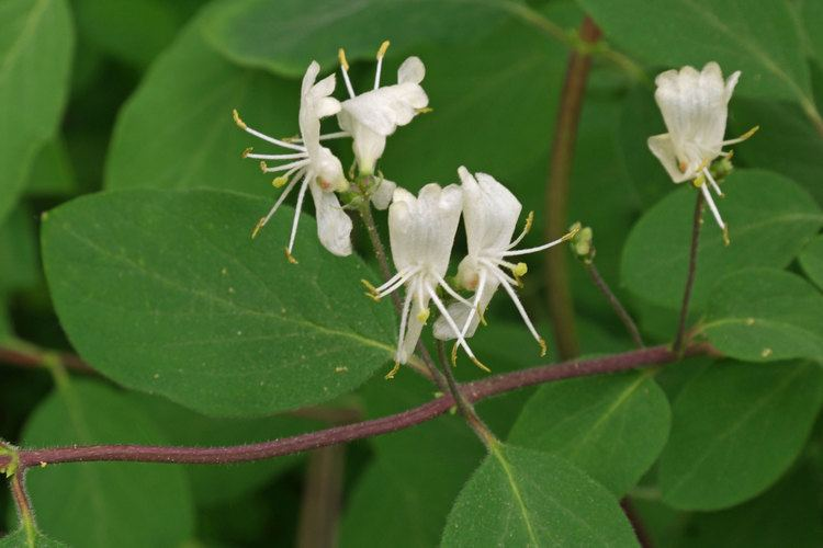 Lonicera xylosteum Lonicera xylosteum