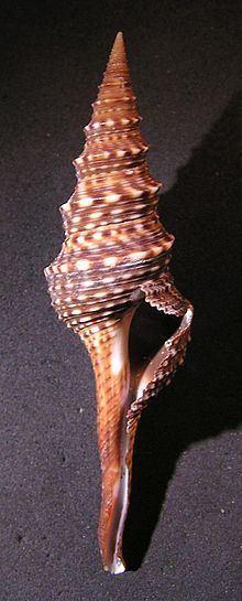 Lophiotoma indica httpsuploadwikimediaorgwikipediacommonsthu