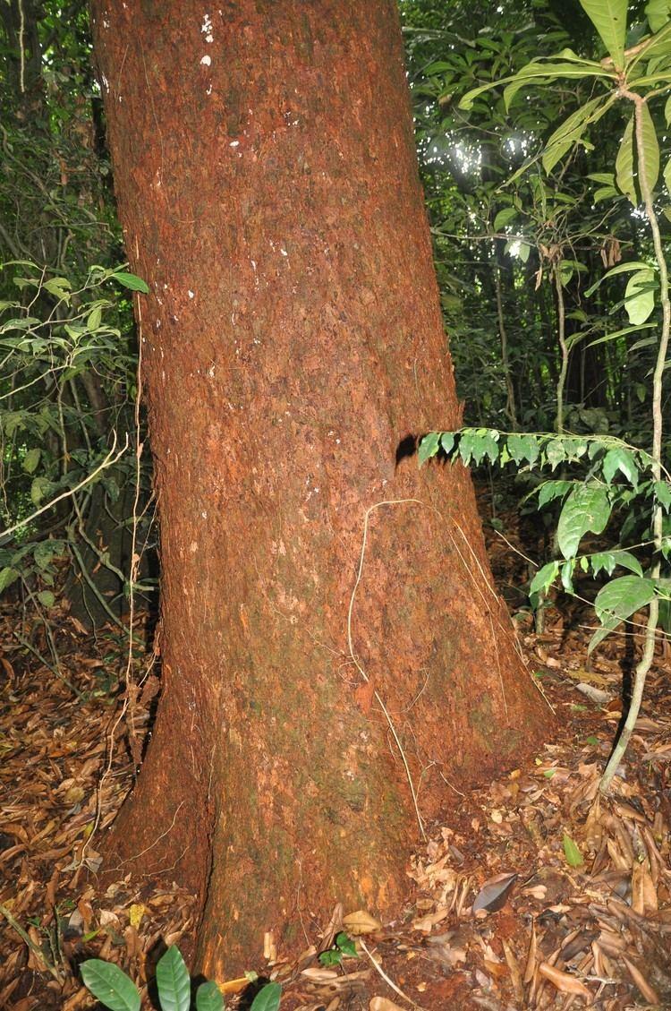 Lophira alata Taxonomy VASCULAR PLANTS OF KORUP NATIONAL PARK