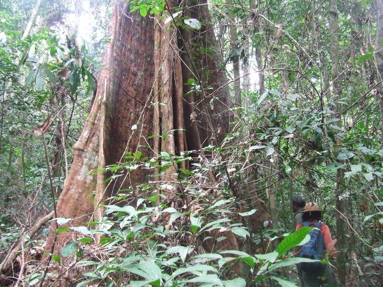 Lophira alata Shorelines Blog Archive Of Censusing Trees and Elephant Dung