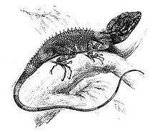 Lophocalotes httpsuploadwikimediaorgwikipediacommonsthu