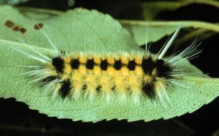 Lophocampa Lophocampa maculata Spotted Tussock Moth Discover Life