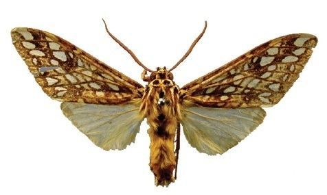 Lophocampa atriceps
