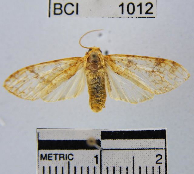 Lophocampa catenulata
