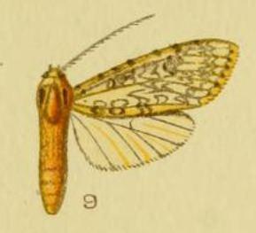 Lophocampa longipennis
