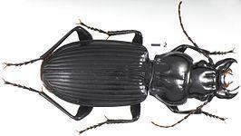 Lophoglossus httpsuploadwikimediaorgwikipediacommonsthu