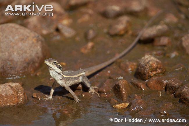 Lophognathus Gilbert39s dragon videos photos and facts Lophognathus gilberti