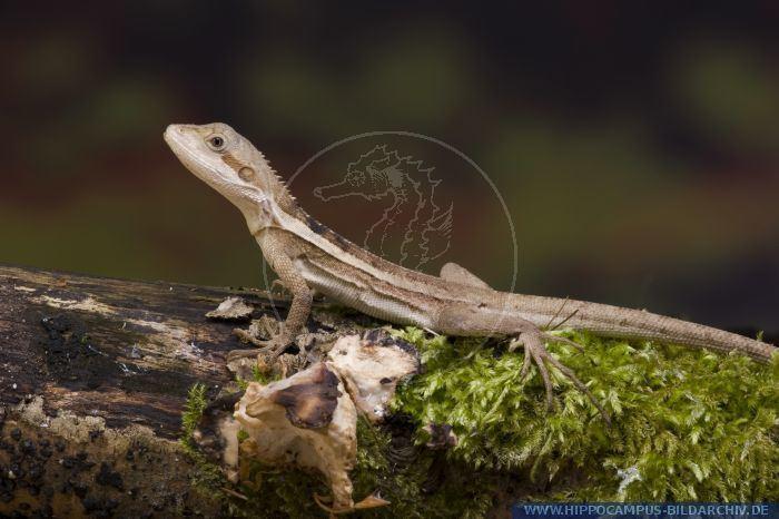 Lophognathus Lophognathus temporalis alias Striped Water Dragon Hippocampus