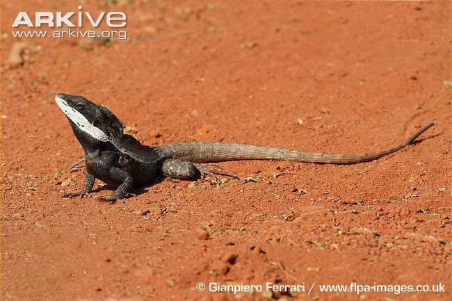 Lophognathus Gilbert39s dragon photo Lophognathus gilberti G138975 ARKive