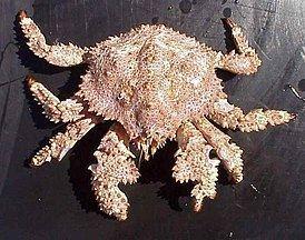 Lopholithodes httpsuploadwikimediaorgwikipediacommonsthu