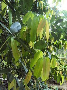 Lophopetalum wightianum httpsuploadwikimediaorgwikipediacommonsthu