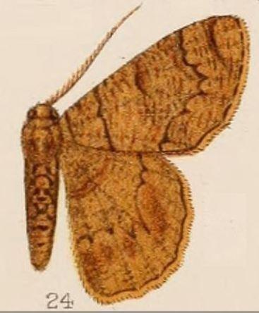 Lophophelma neonoma