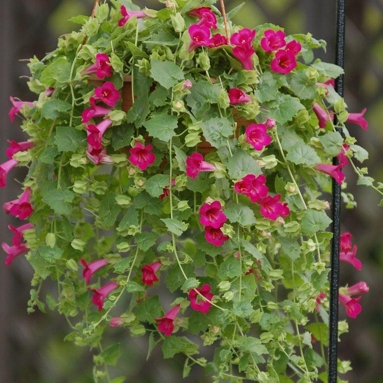 Lophospermum Lophospermum DSCole Growers