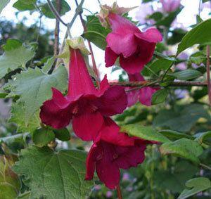 Lophospermum lofoswineredlophoMjpg