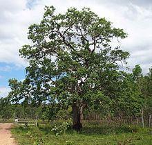 Lophostemon suaveolens httpsuploadwikimediaorgwikipediacommonsthu
