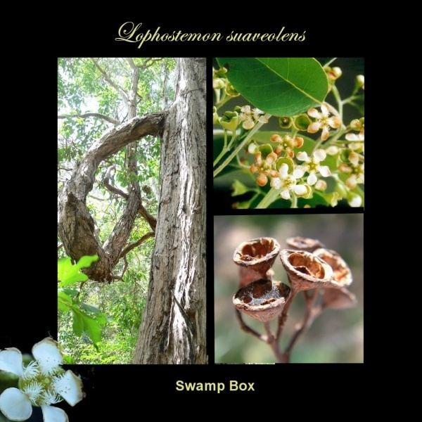 Lophostemon suaveolens Lophostemon suaveolens Noosa39s Native Plants