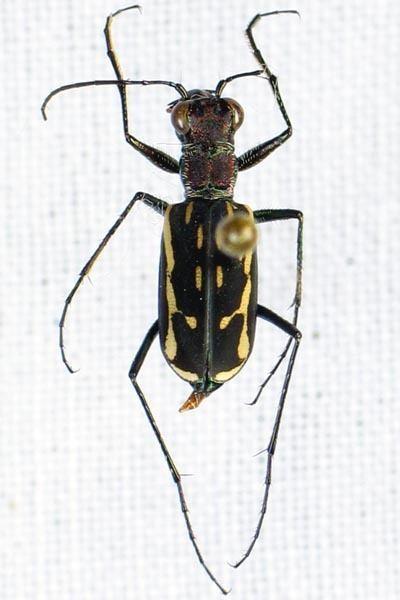 Lophyra SALAGUBANGNET Philippine Coleoptera